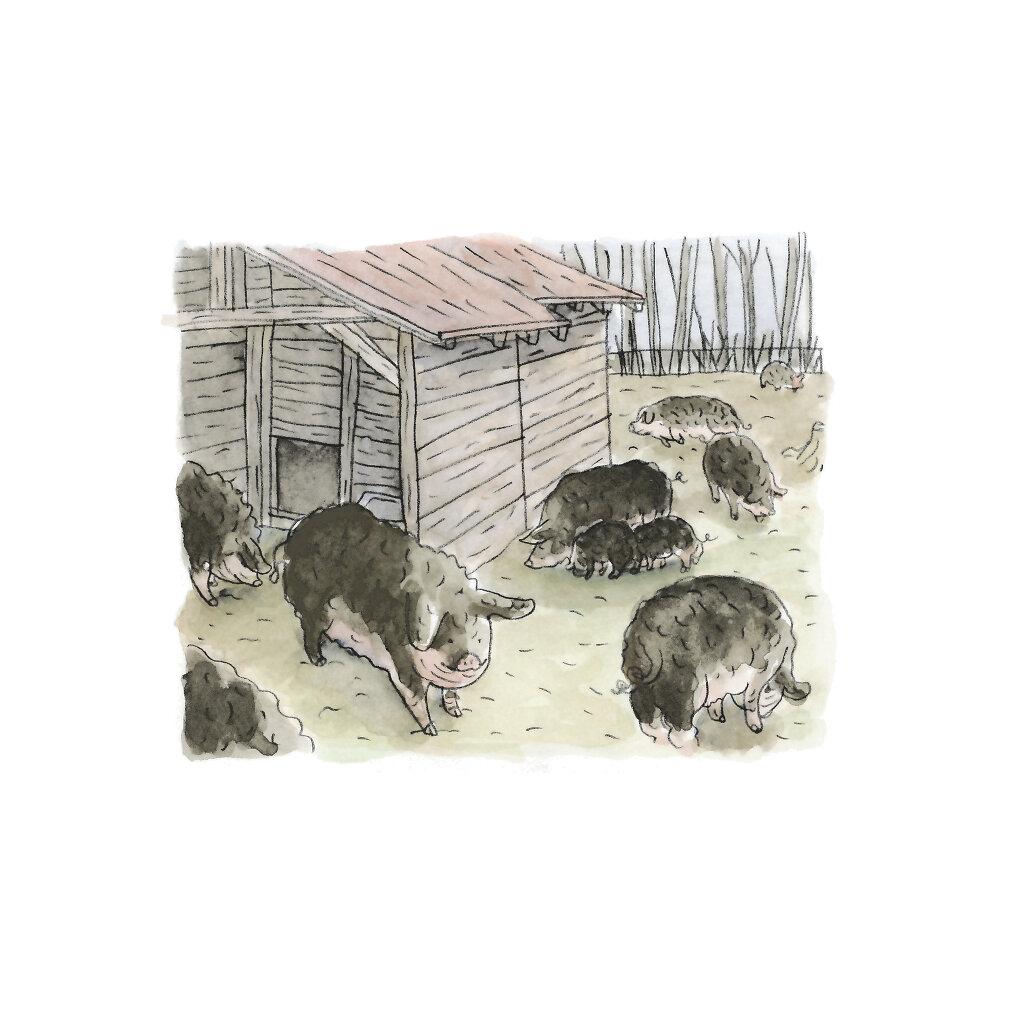 Cochons laineux à Sauvabelin